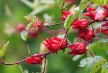 Photo of Melirik Rosella, Tanaman Herbal Banyak Manfaat